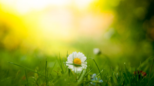 Springtime Daisy & Green Grass | Heidi McBain, Women's Counselor & Online Therapist in Flower Mound, Texas